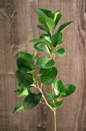 """SY10301GR Baby Rubber Plant Spray Green 27"""""""